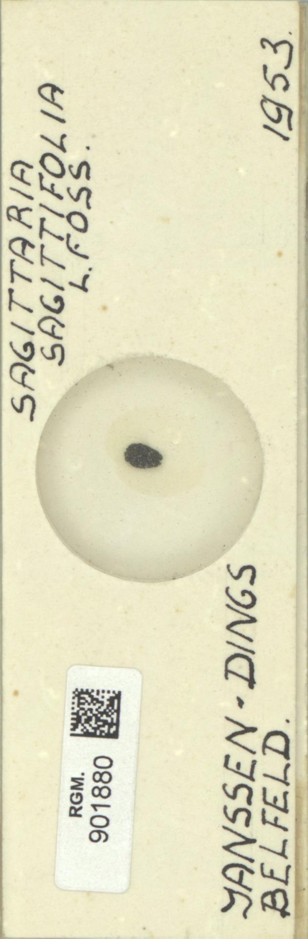 RGM.901880 | Sagittaria sagittifolia L.