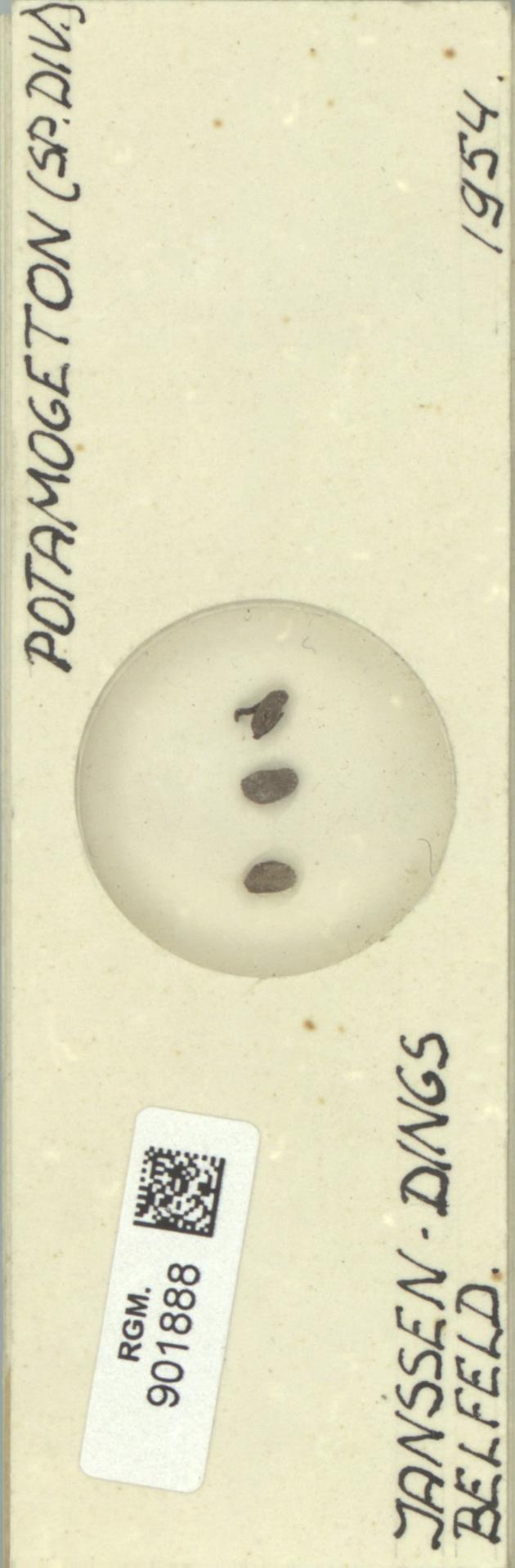 RGM.901888 | Potamogeton lucens