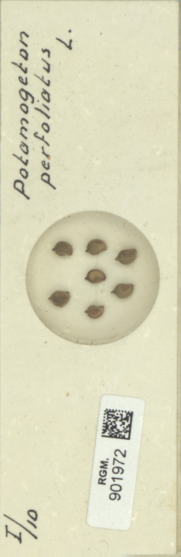 RGM.901972 | Potamogeton perfoliatus L.