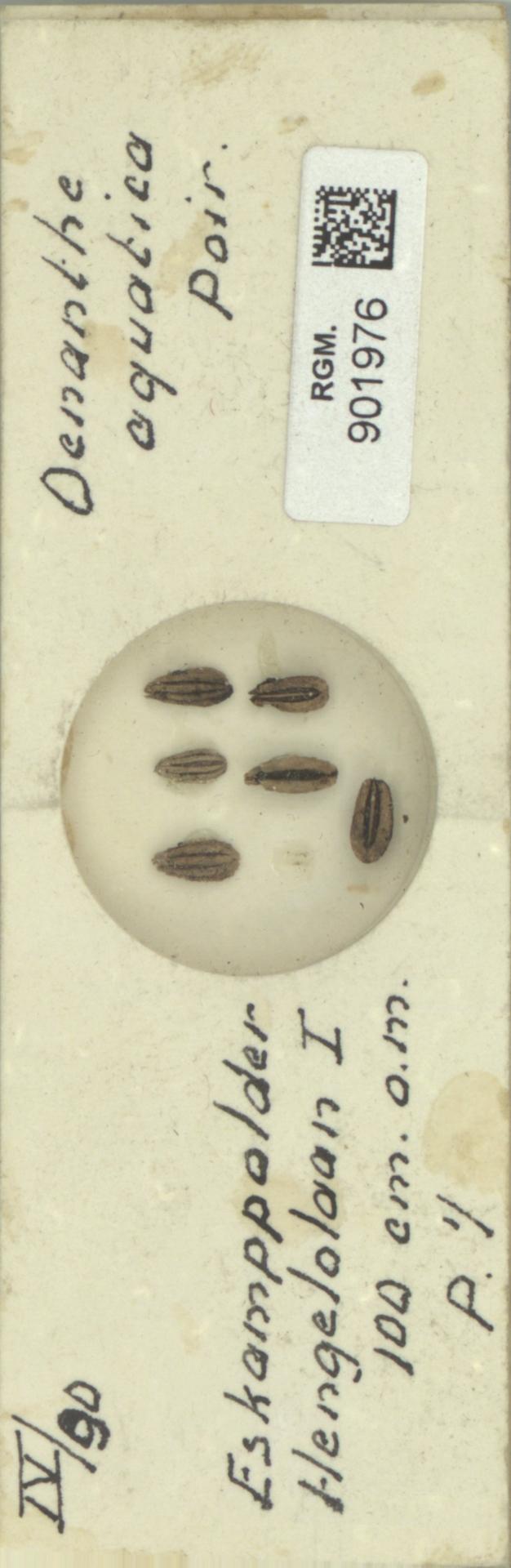 RGM.901976 | Oenanthe aquatica Poir