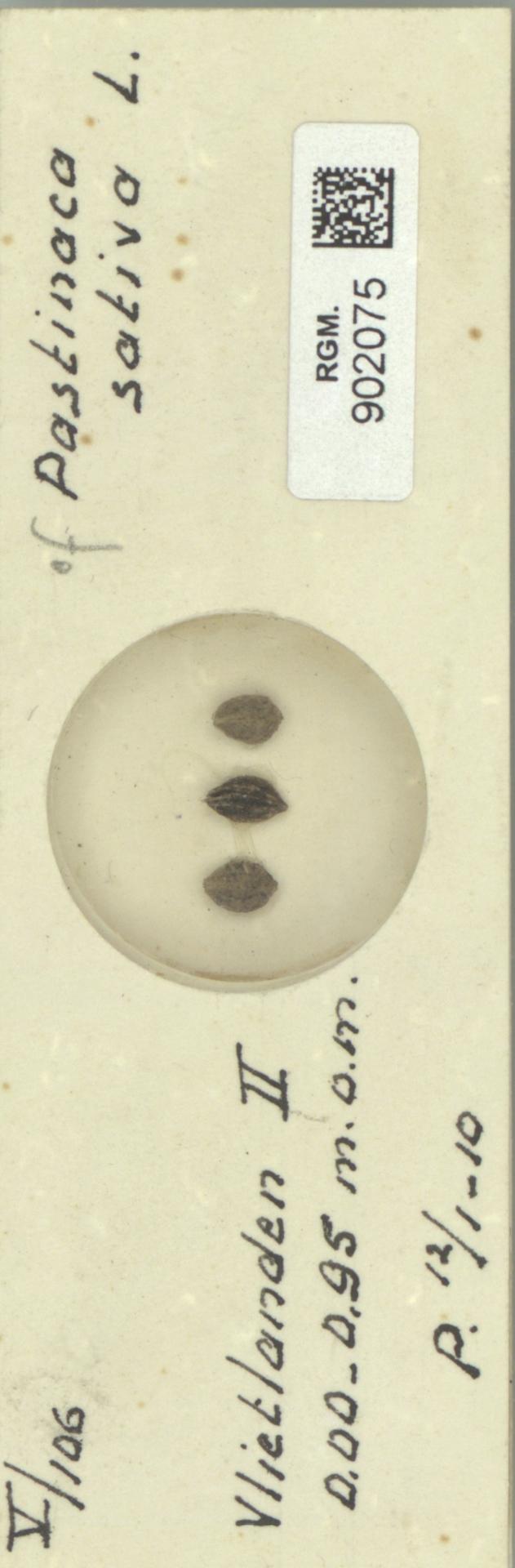 RGM.902075 | Pastinaca sativa L.