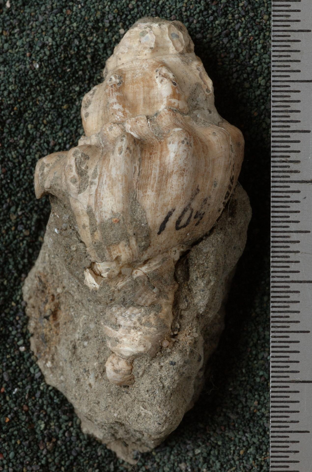 RGM.9161 | Siphonalia (Phoracanthus) ickei Martin, 1914
