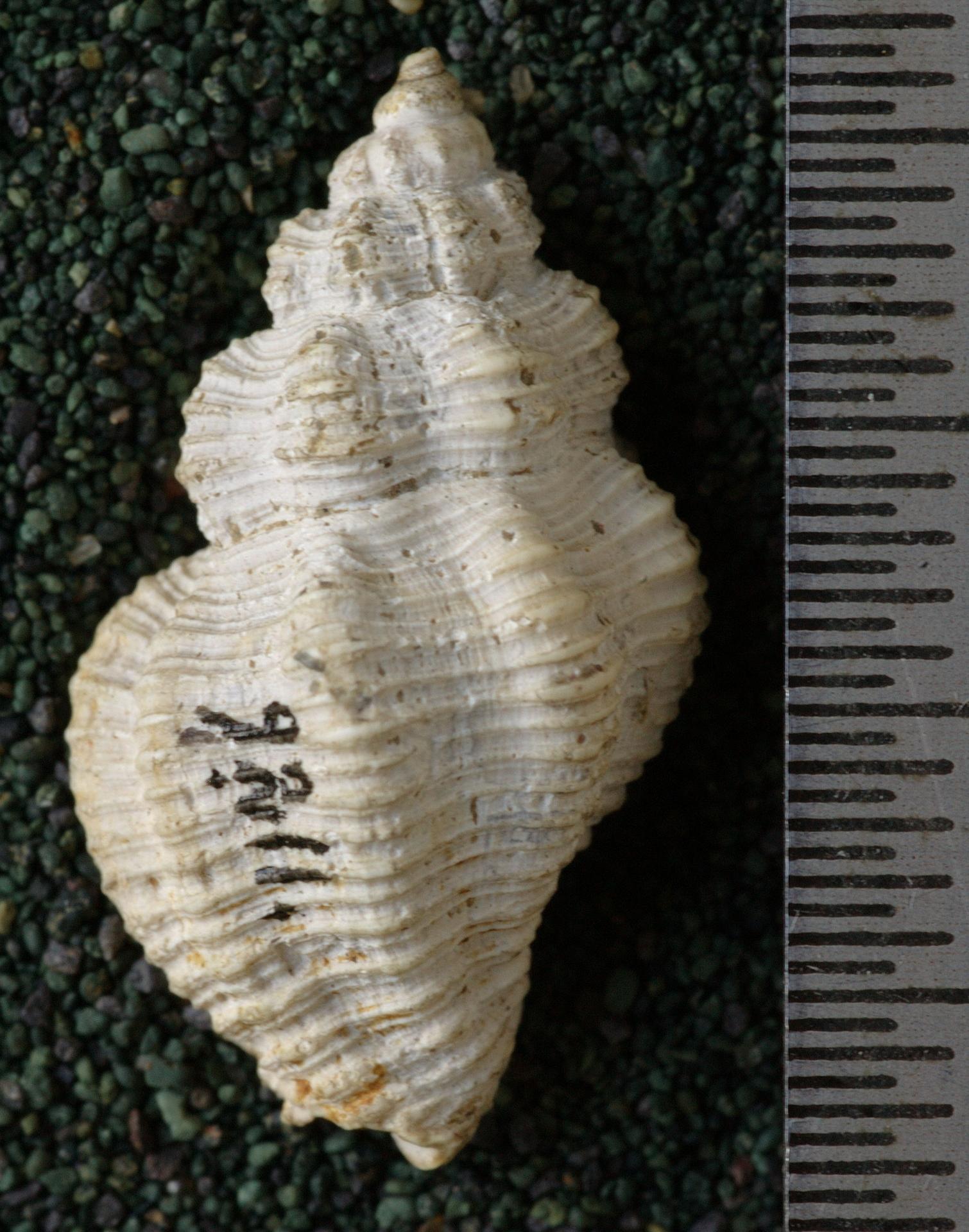 RGM.9211.a   Canthurus angsanana Martin, 1921