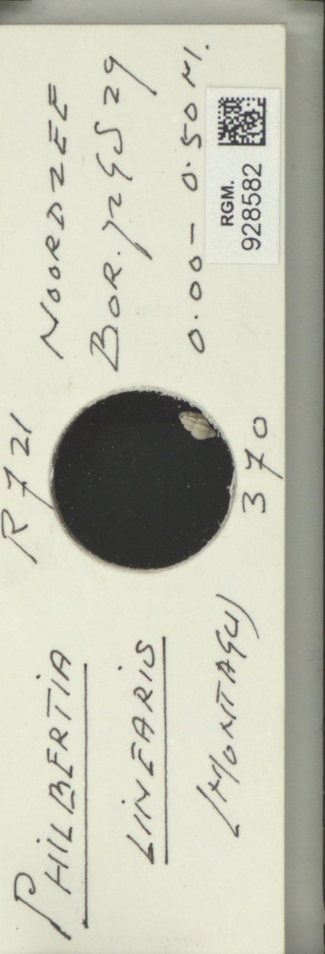 RGM.928582 | Philbertia linearis Montagu