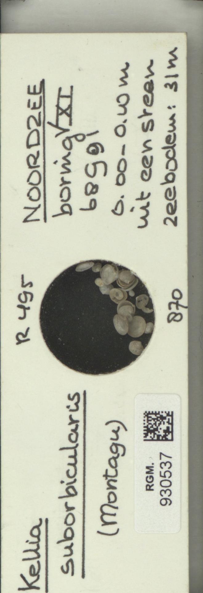 RGM.930537 | Kellia suborbicularis (Montagu)