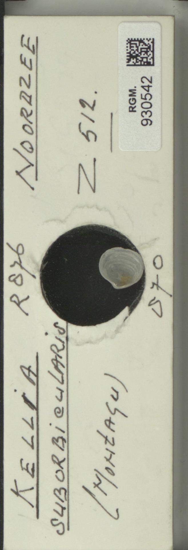 RGM.930542 | Kellia suborbicularis (Montagu)