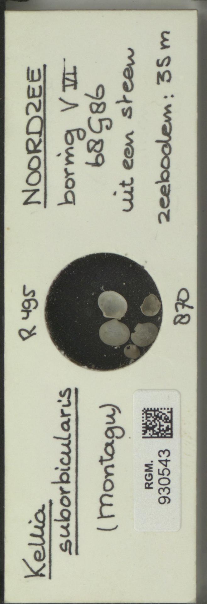 RGM.930543 | Kellia suborbicularis (Montagu)