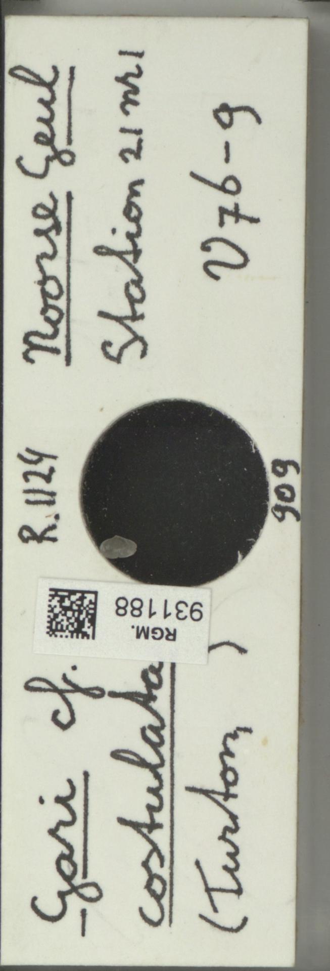 RGM.931188 | Gari costulata Turton
