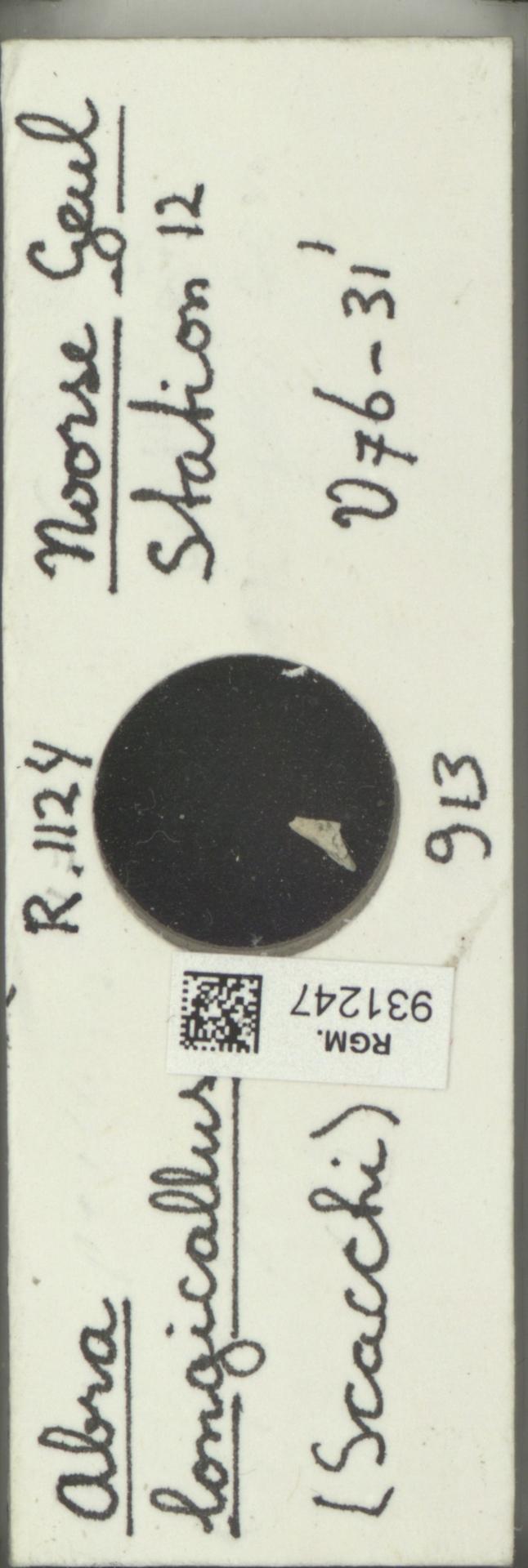 RGM.931247 | Abra longicallus (Scacchi)