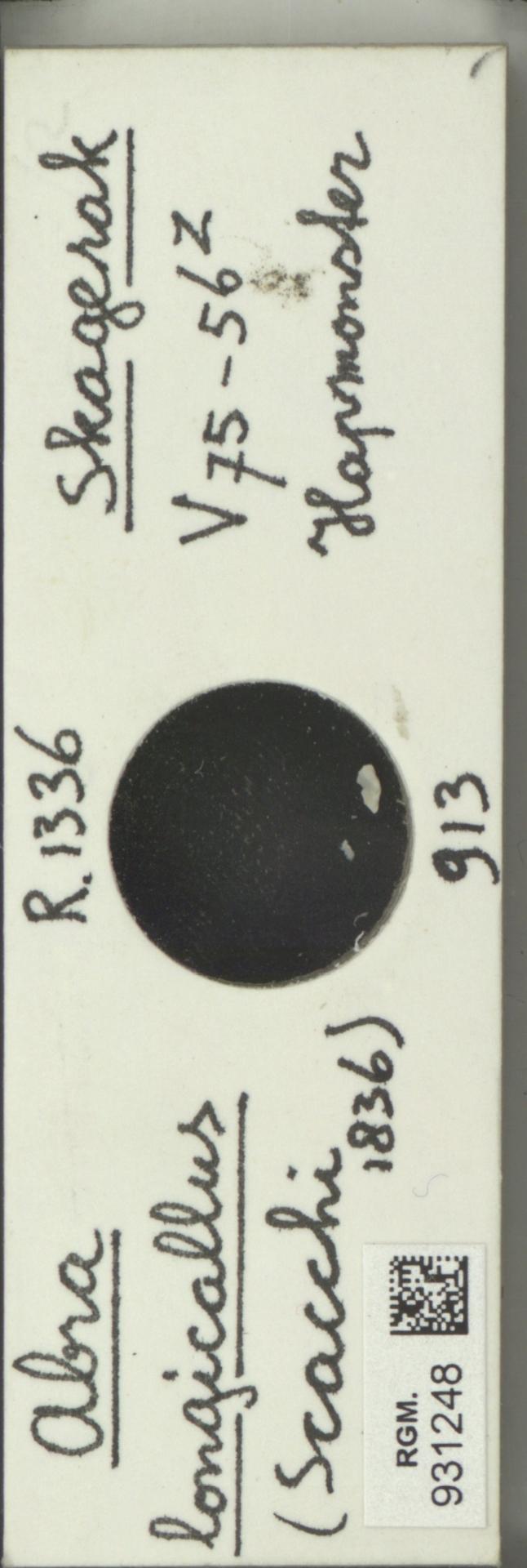 RGM.931248 | Abra longicallus (Scacchi)