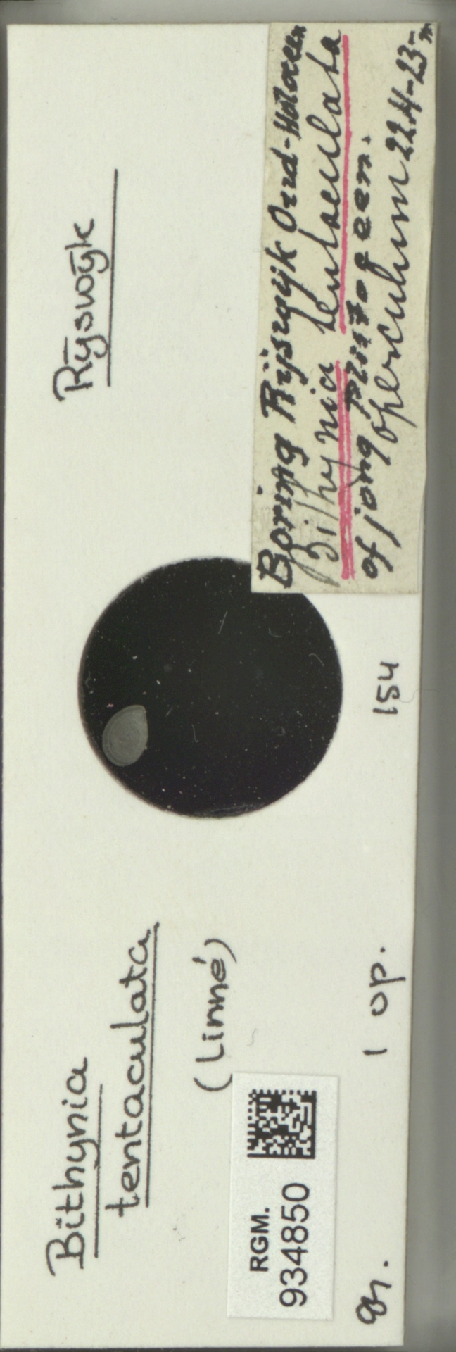 RGM.934850   Bithynia tentaculata (Linné, 1758)