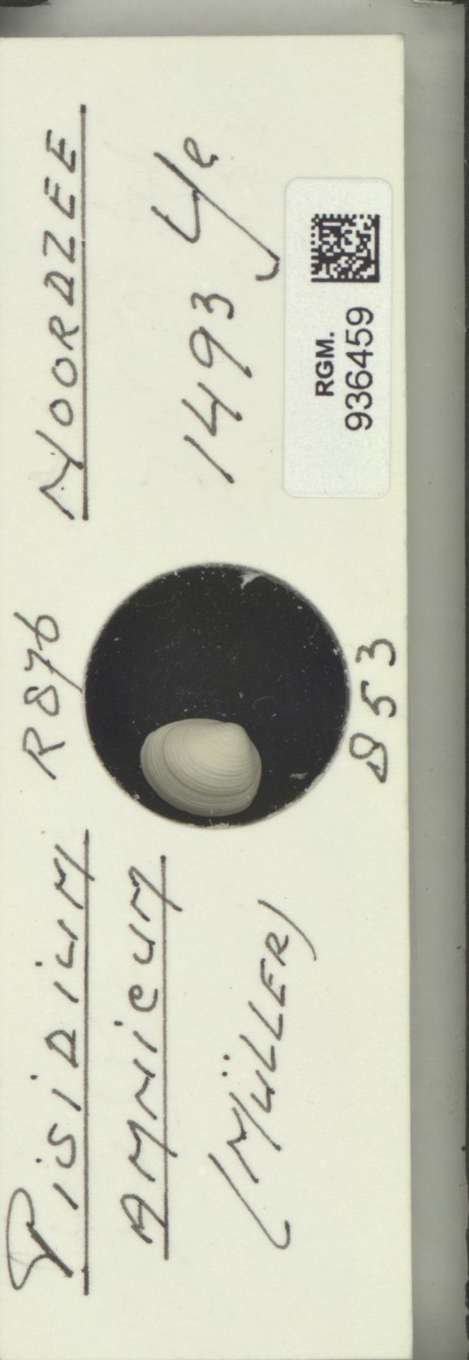 RGM.936459 | Pisidium amnicum (Müller)