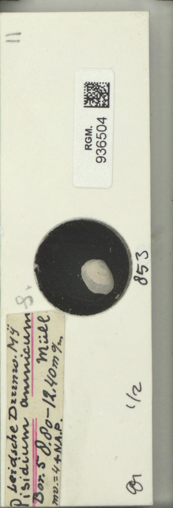 RGM.936504 | Pisidium amnicum (Müller, 1774)