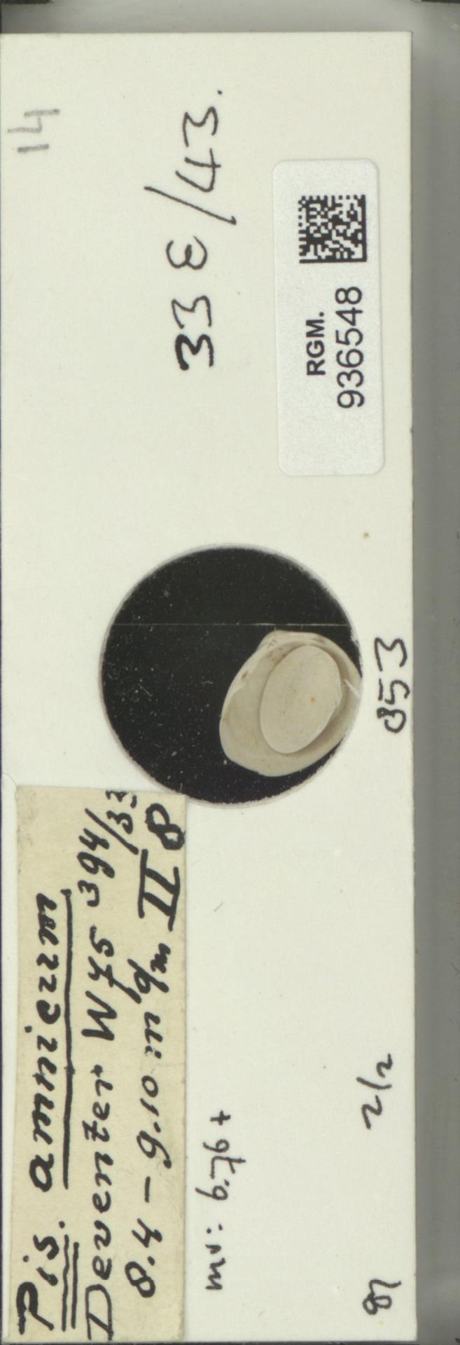 RGM.936548 | Pisidium amnicum Müller, 1774