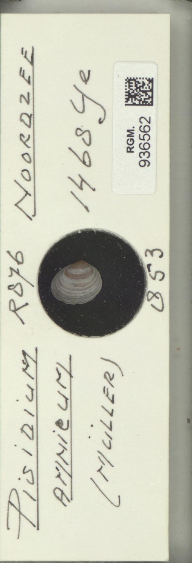 RGM.936562 | Pisidium amnicum Müller