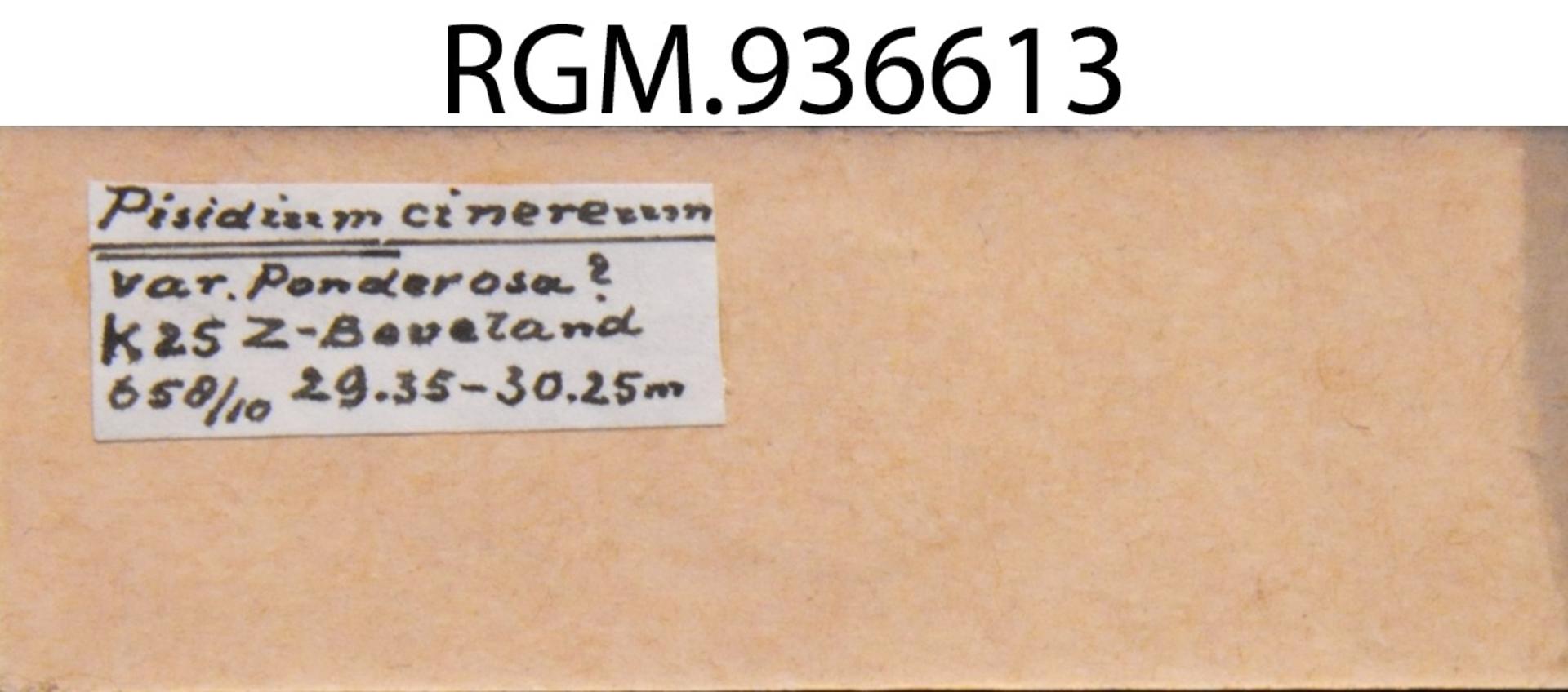 RGM.936613 | Pisidium casertanum
