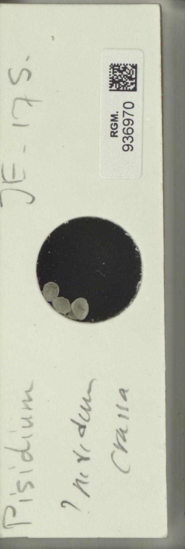 RGM.936970 | Pisidium nitidum Jenyns, 1832