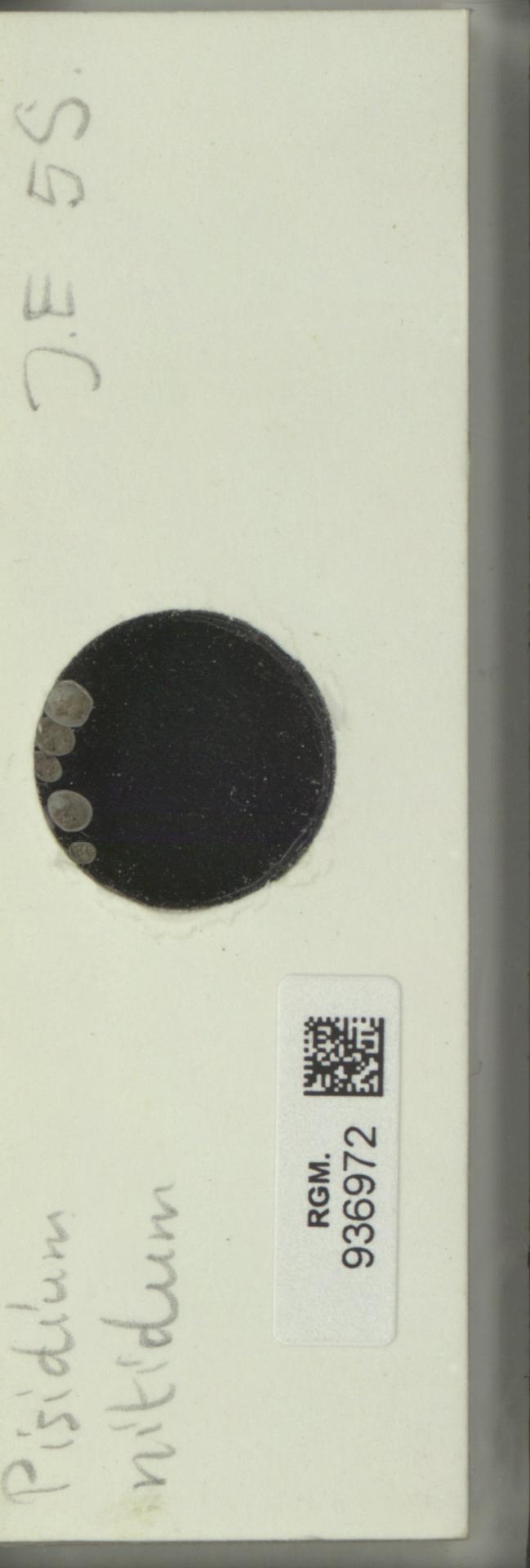 RGM.936972 | Pisidium nitidum Jenyns, 1832