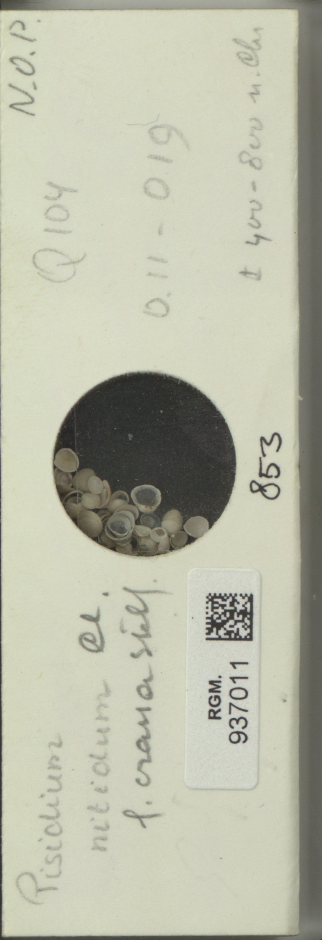 RGM.937011 | Pisidium nitidum