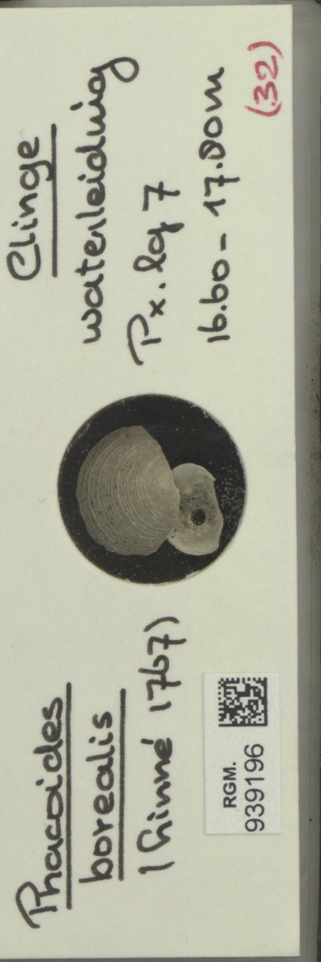RGM.939196 | Phacoides borealis Linné, 1767