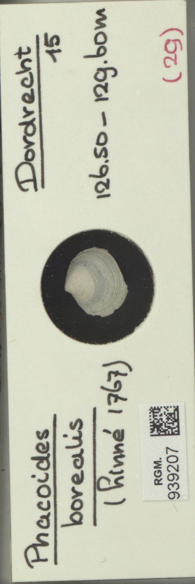 RGM.939207 | Phacoides borealis (Linné, 1767)