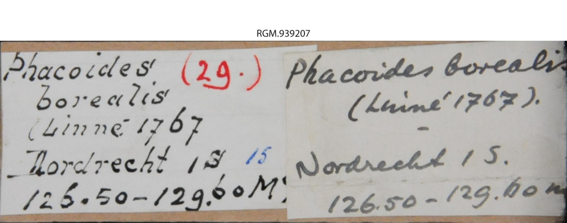 RGM.939207 | Phacoides borealis Linné, 1767