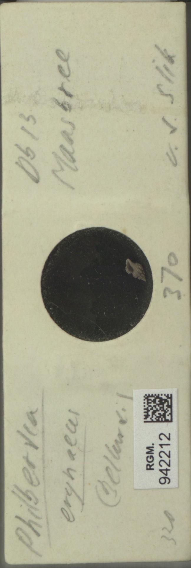 RGM.942212 | Philbertia erynaeus Bellart.