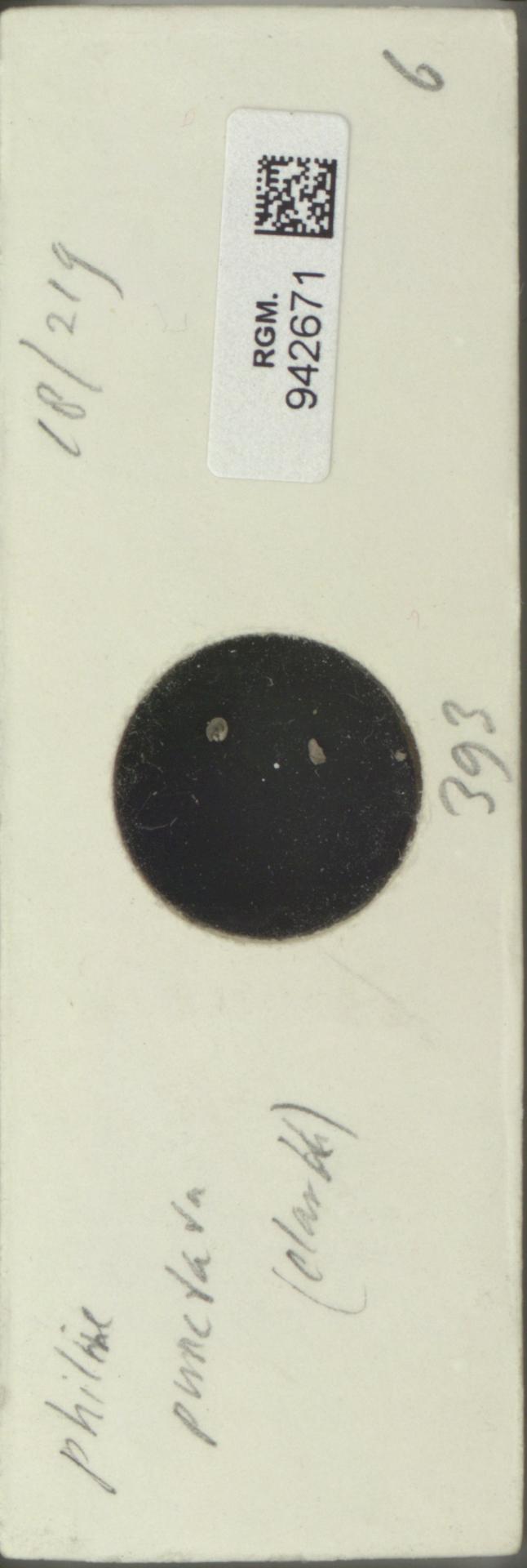 RGM.942671 | Philine punctata Clark