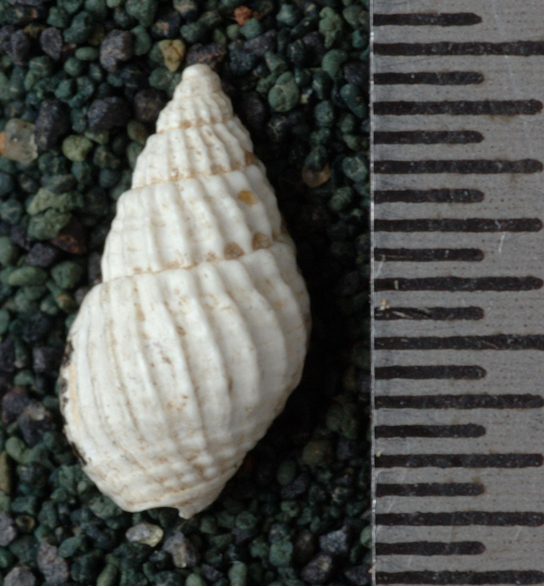 RGM.9545 | Nassa (Niotha) talahabensis Martin, 1921