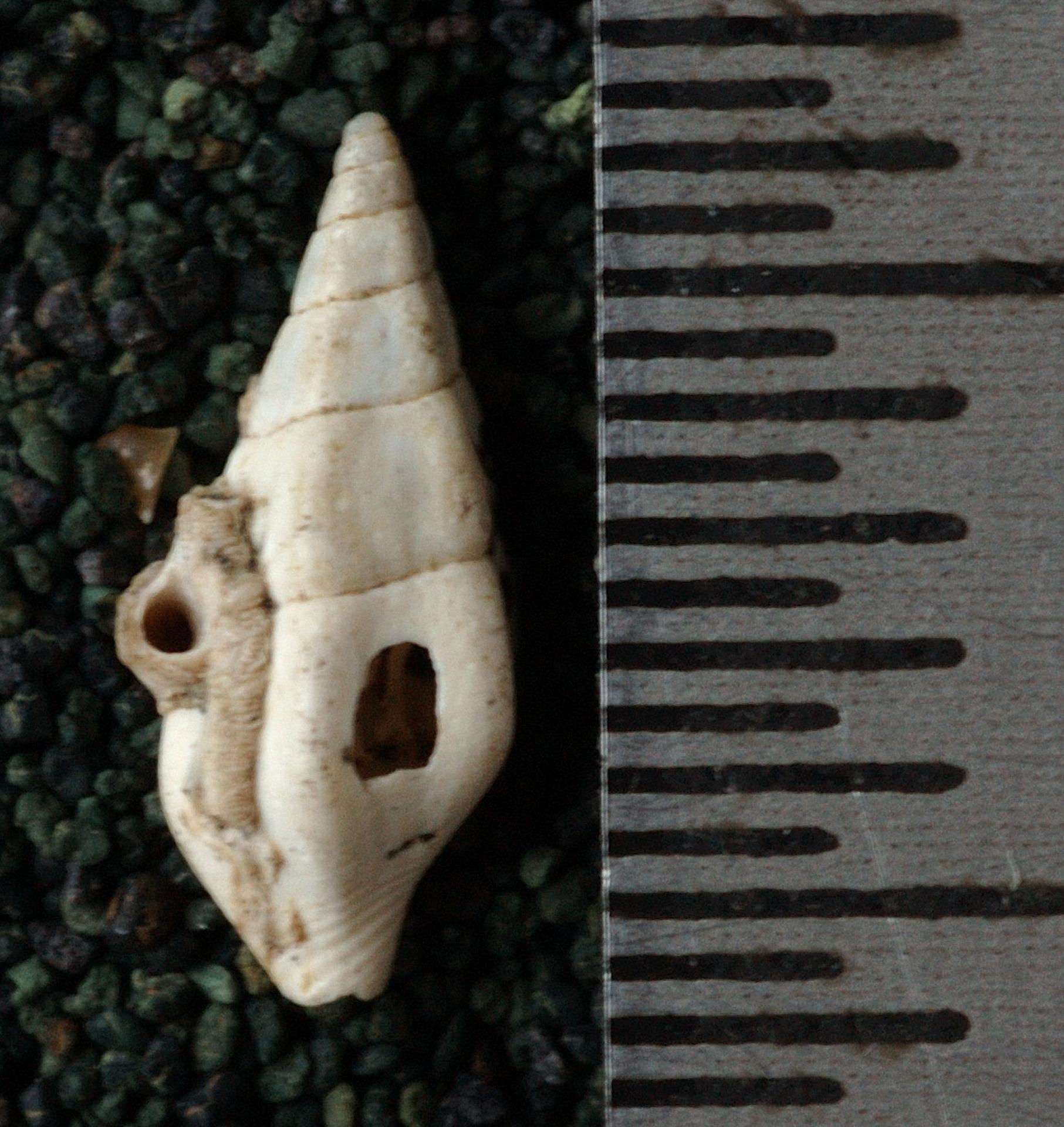 RGM.9622.a | Columbella puruensis Martin, 1914
