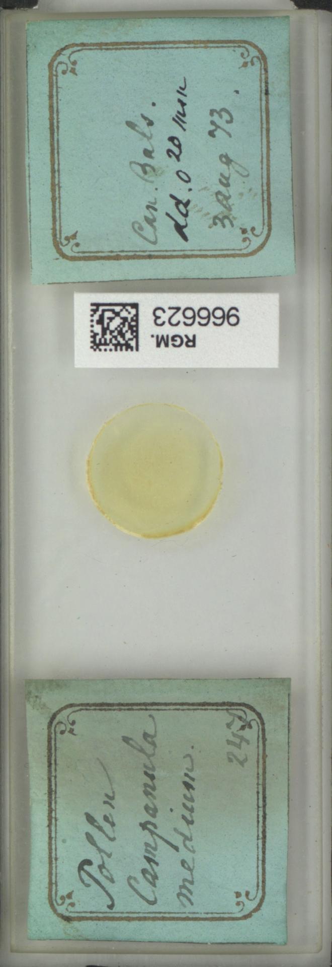 RGM.966623 | Campanula medium