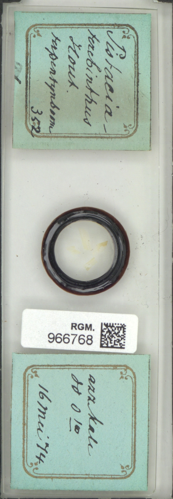 RGM.966768   Pistacia terebinthus