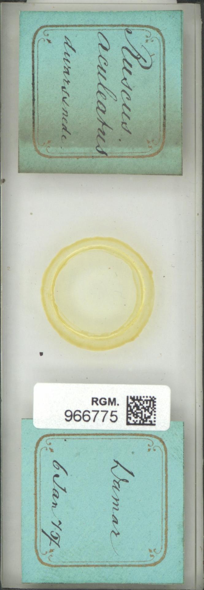 RGM.966775 | Ruscus aculeatus