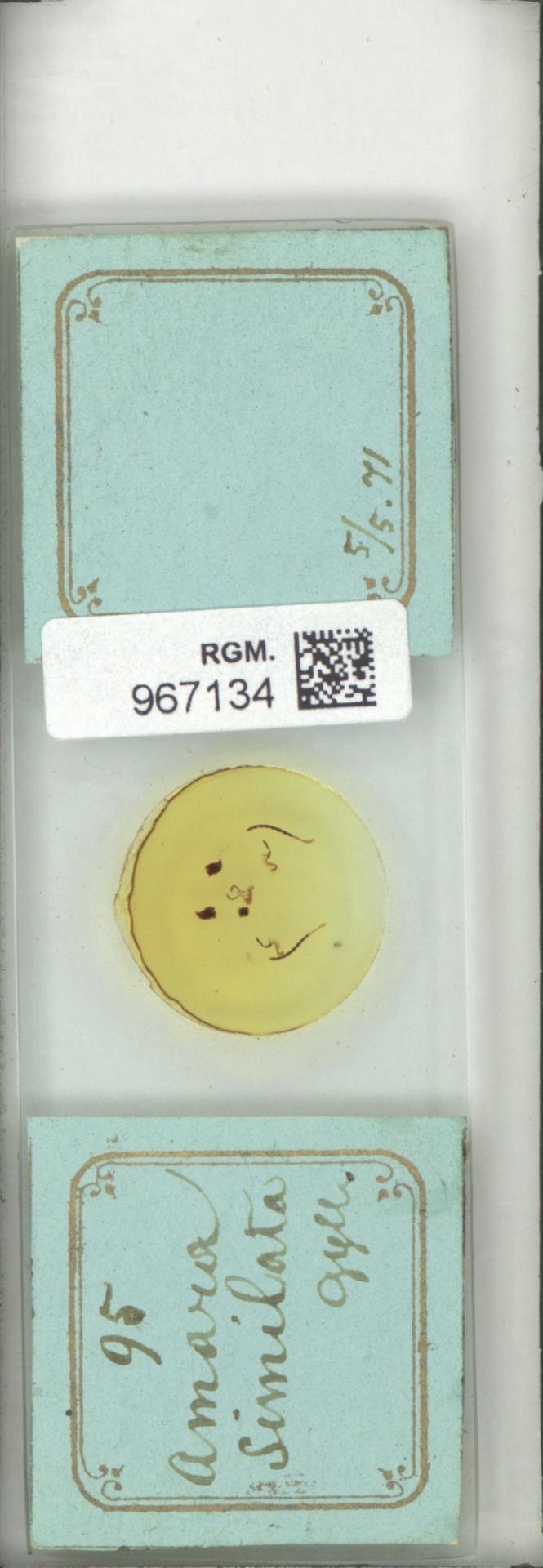 RGM.967134 | Amara similata