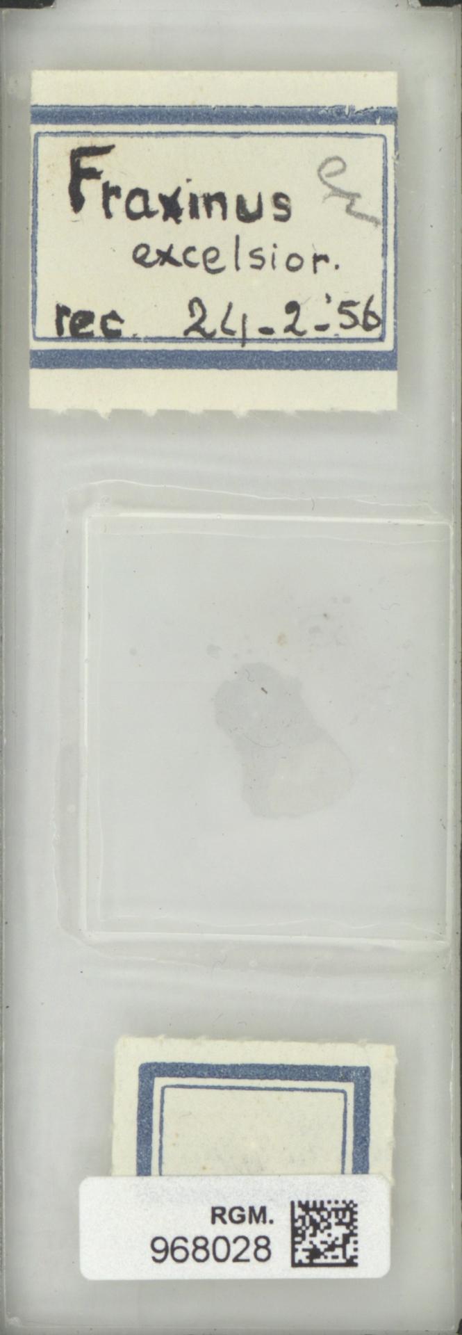 RGM.968028 | Fraxinus excelsior