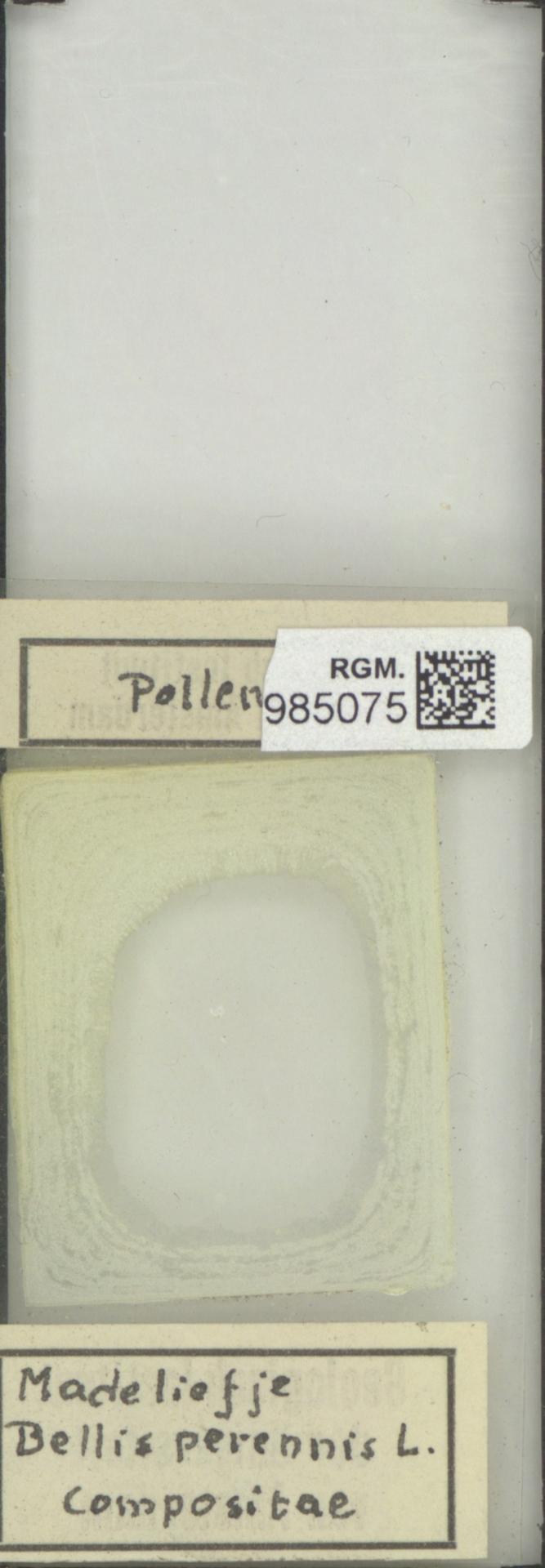 RGM.985075 | Bellis perennis L.