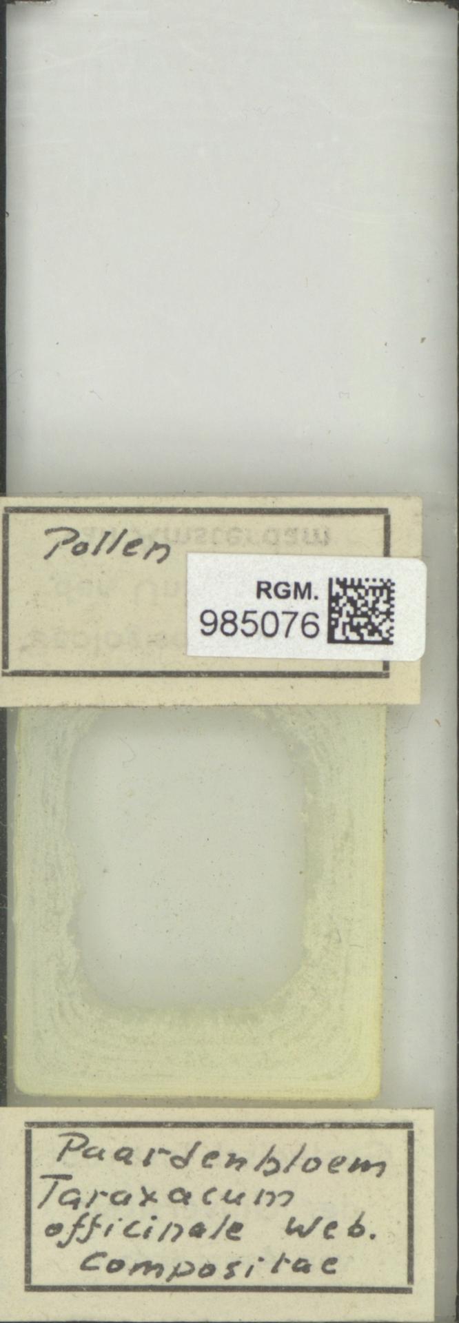 RGM.985076   Taraxacum officinale Web.