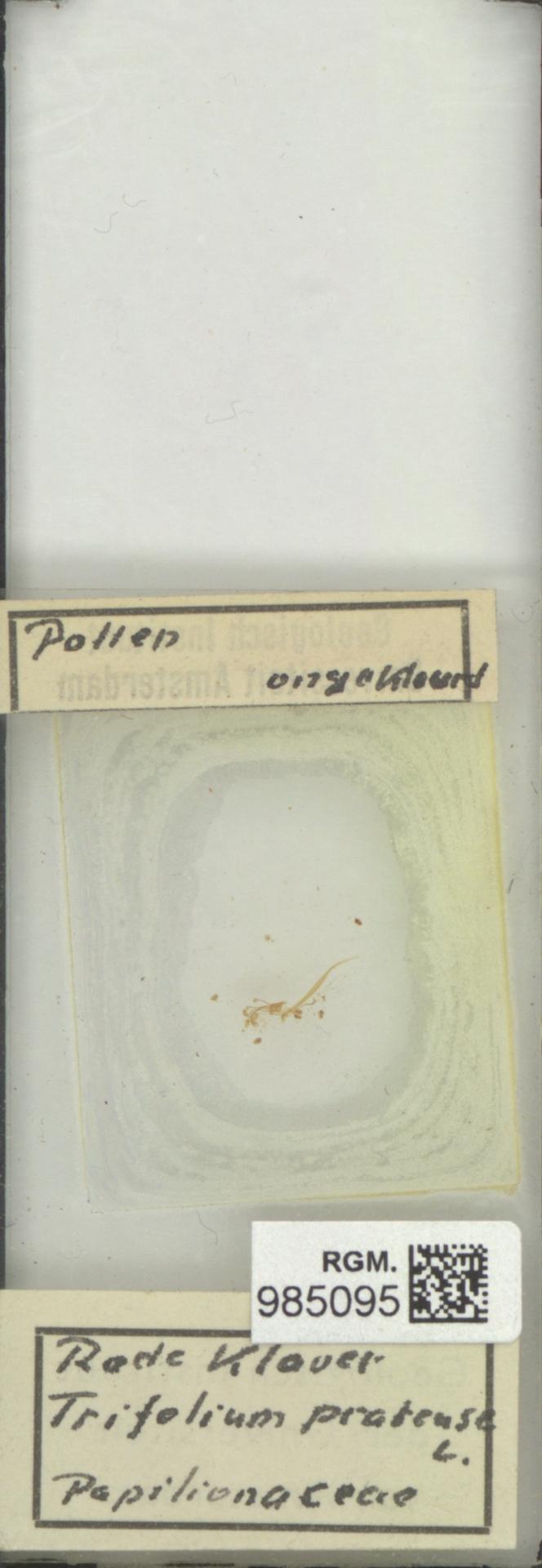 RGM.985095 | Trifolium pratense L.