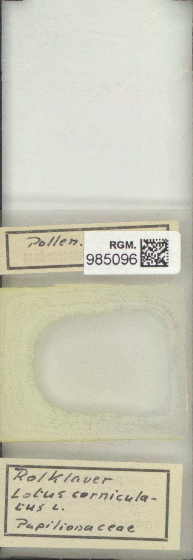 RGM.985096 | Lotus corniculatus L.