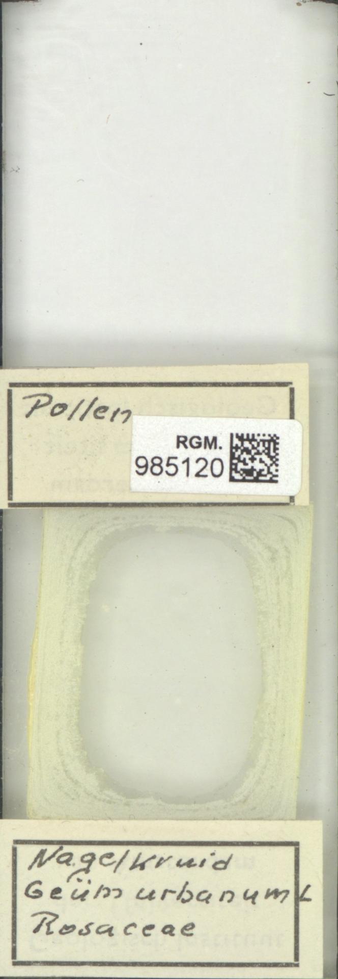 RGM.985120 | Geum urbanum L.
