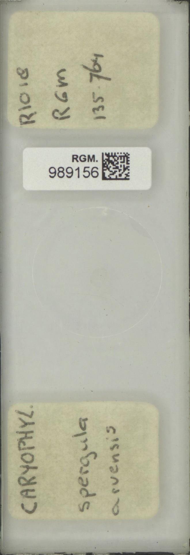 RGM.989156 | Spergula arvensis