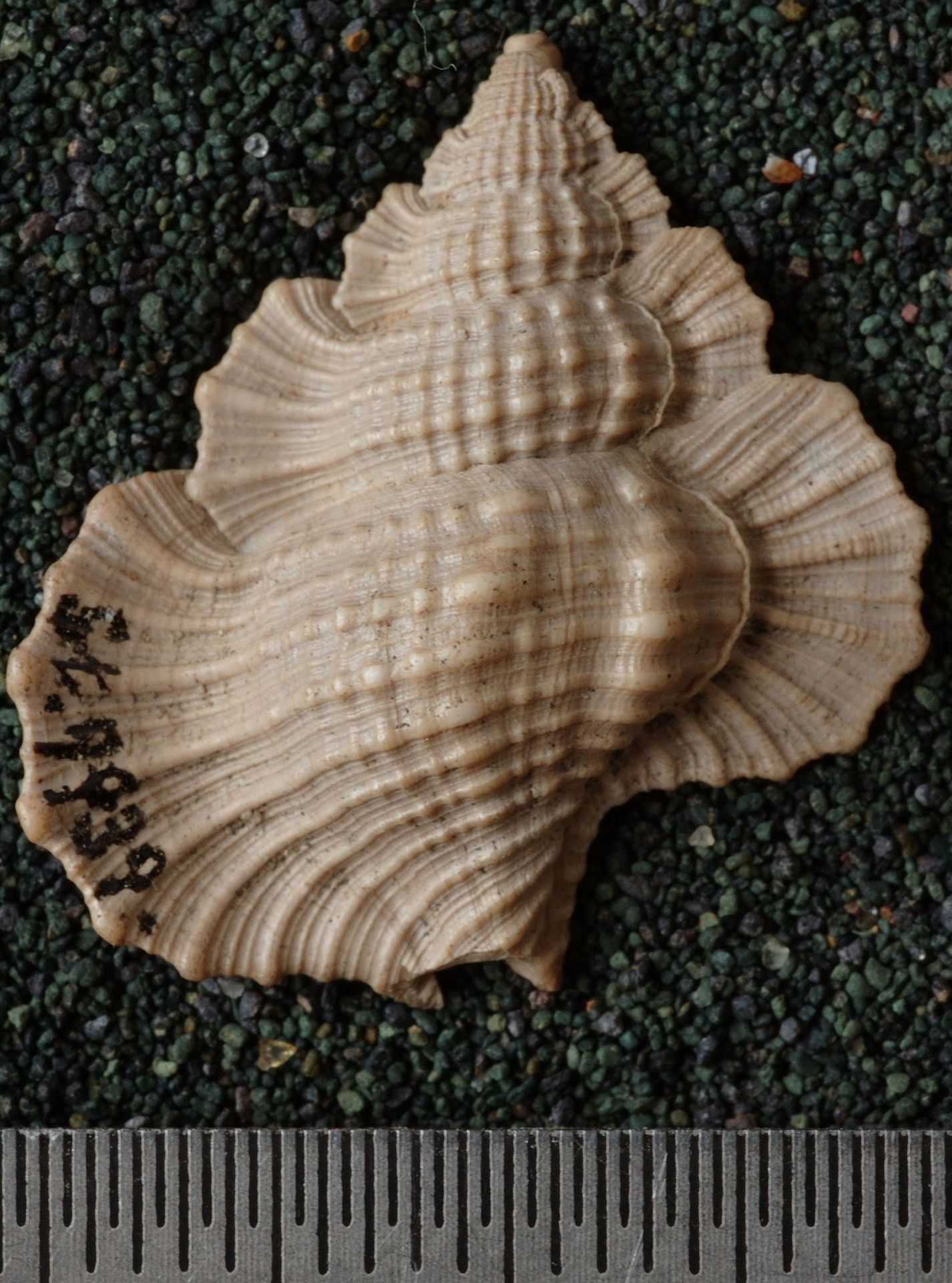 RGM.9939 | Ranella (Biplex) pamotanensis Martin, 1899