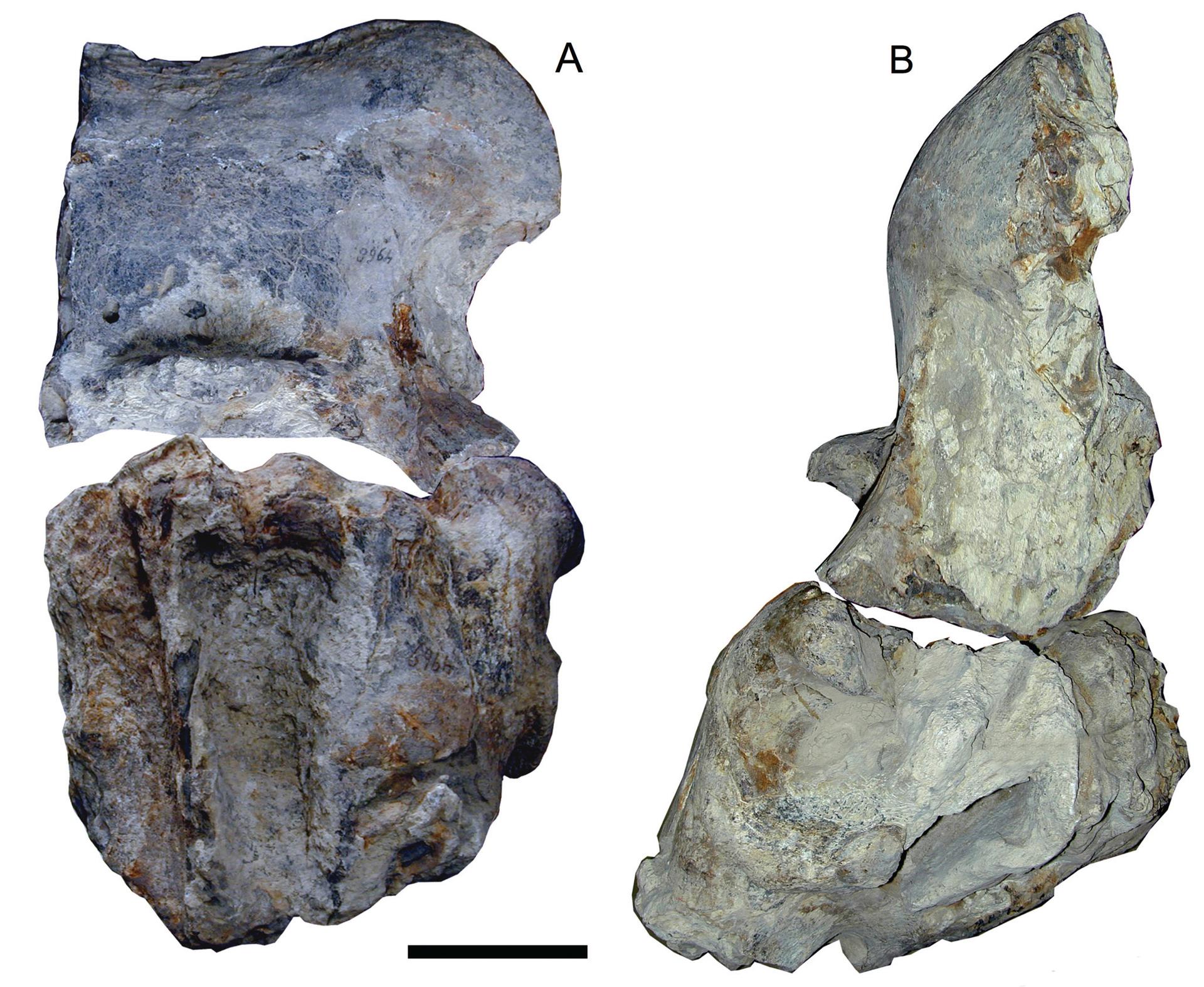 RGM.DUB.4968 | Elephas hysudrindicus Dubois, 1908