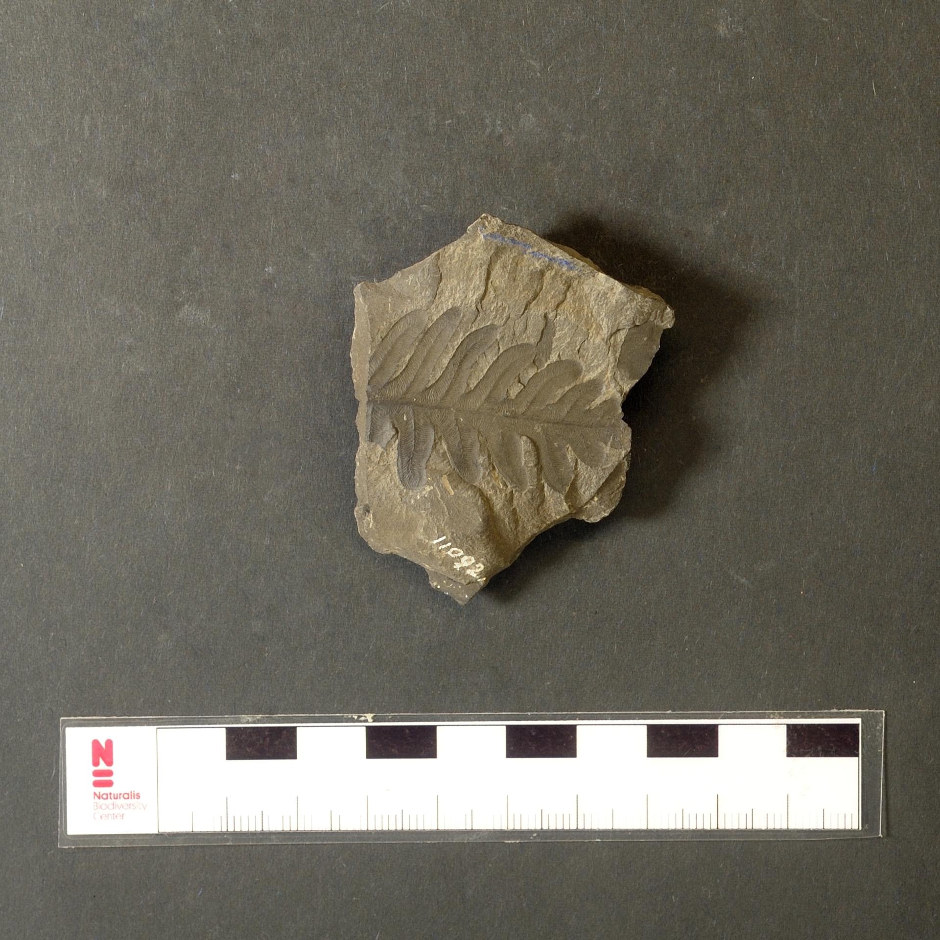 RGM.JMS.45197 | Alethopteris barruelensis