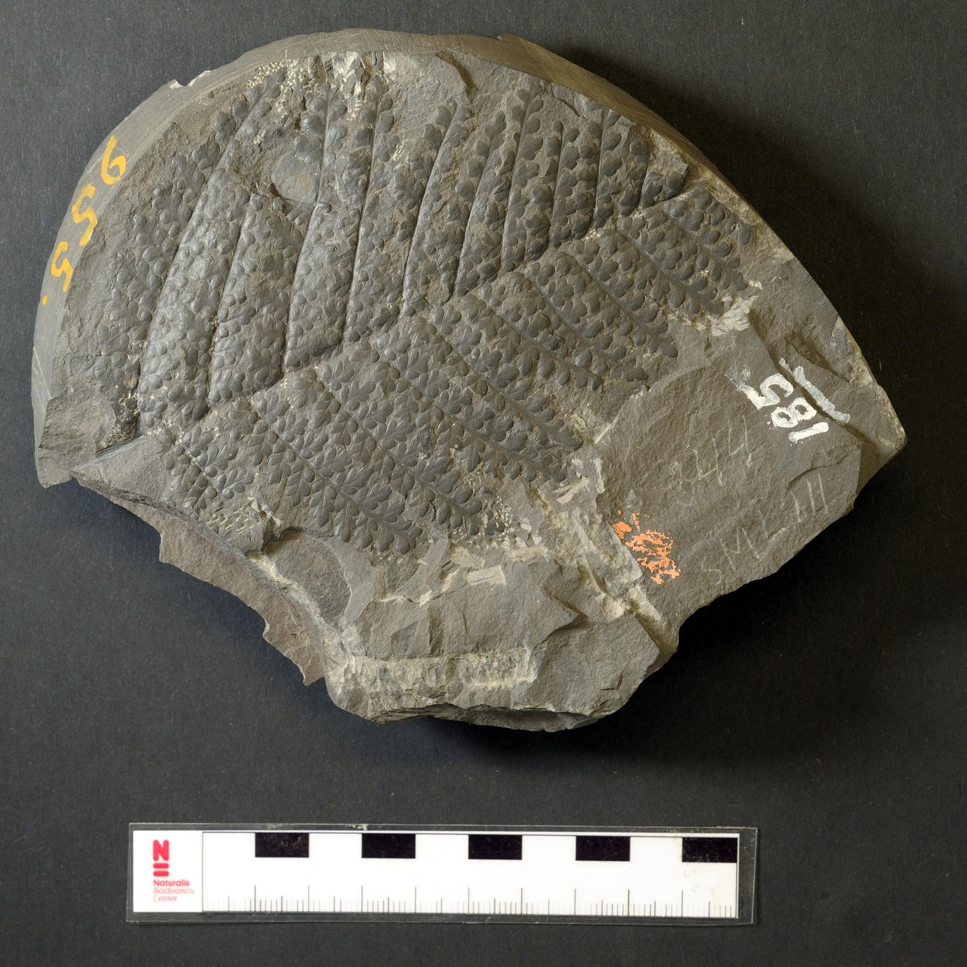 RGM.JMS.955   Eusphenopteris hollandica