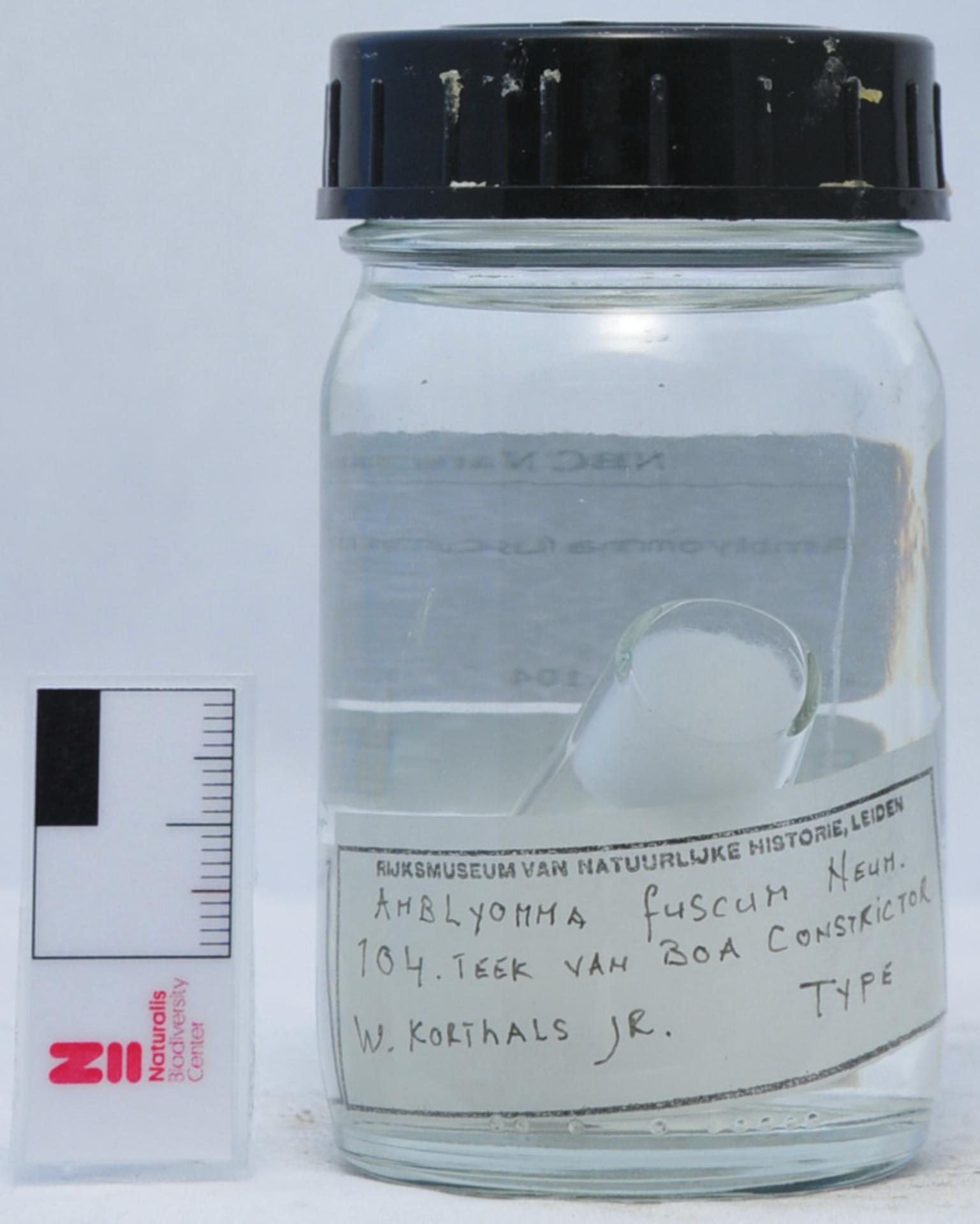 RMNH.ACA.104 | Amblyomma fuscum Neum.