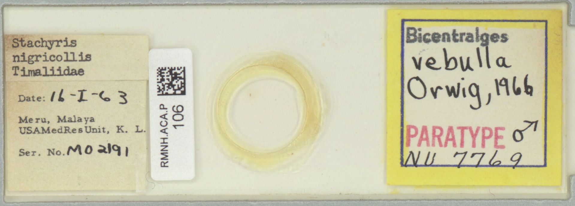RMNH.ACA.P.106 | Bicentralges vebulla Orwig, 1966