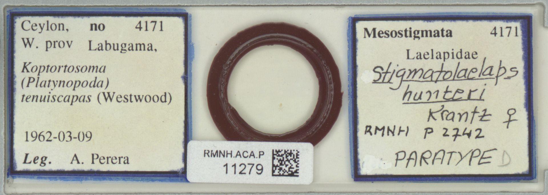 RMNH.ACA.P.11279 | Stigmatolaelaps hunteri Krantz