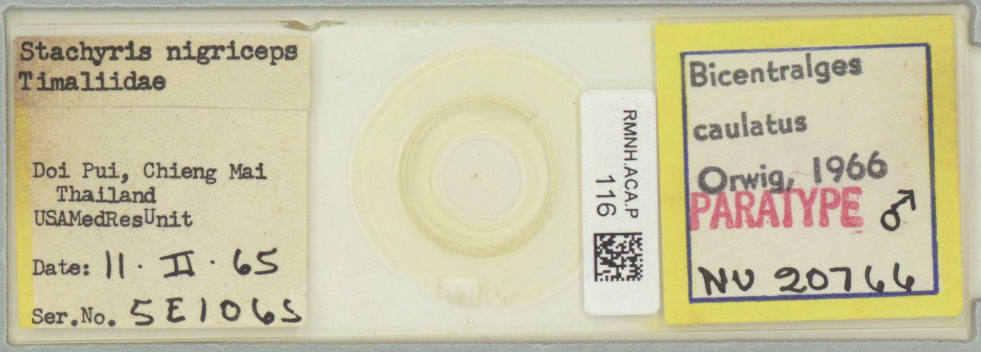 RMNH.ACA.P.116 | Bicentralges caulatus Orwig, 1966