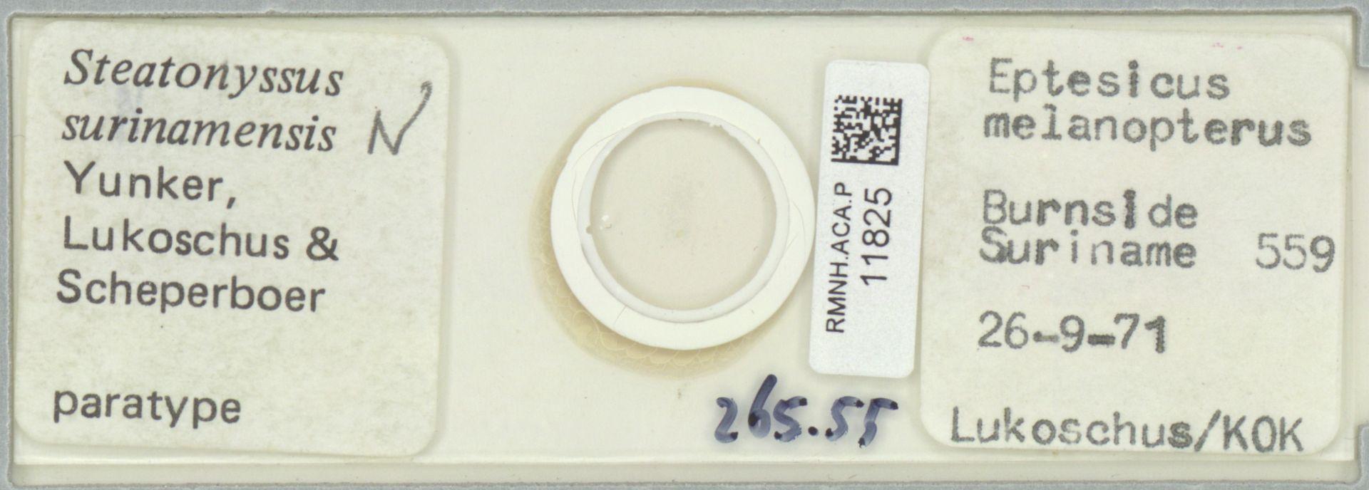 RMNH.ACA.P.11825 | Steatonyssus surinamensis